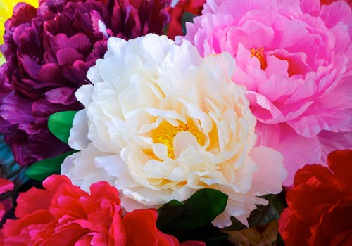 A lush collection of multi-colored peonies in the wild