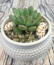 Single succulent plant in container with beach decor
