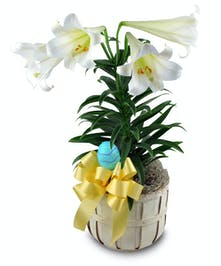 Traditional Easter Lily plant in basket with trim