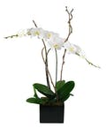Orchid Simplicity