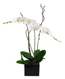 Phaelenopsis orchid plant in decorative container