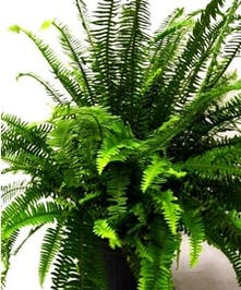Boston Fern in basket