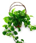 Powerhouse Pothos