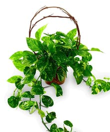 Hanging Pothos plant in decorative container with willow trim