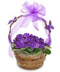 As Shown--3 Violet plants